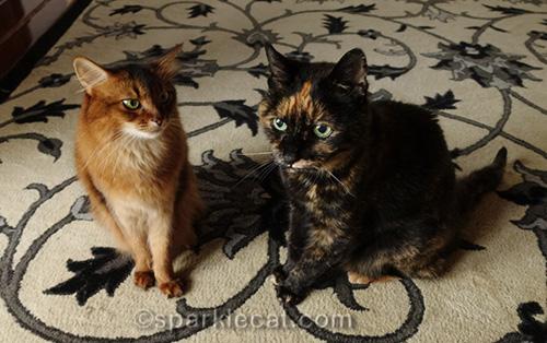 somali cat and tortoiseshell cat