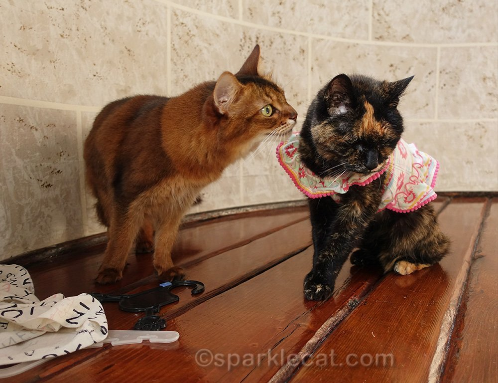 tortoiseshell cat not listening to somali cat