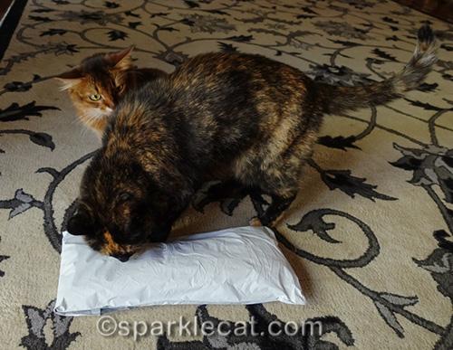 somali cat annoyed that tortoiseshell cat is interrupting her