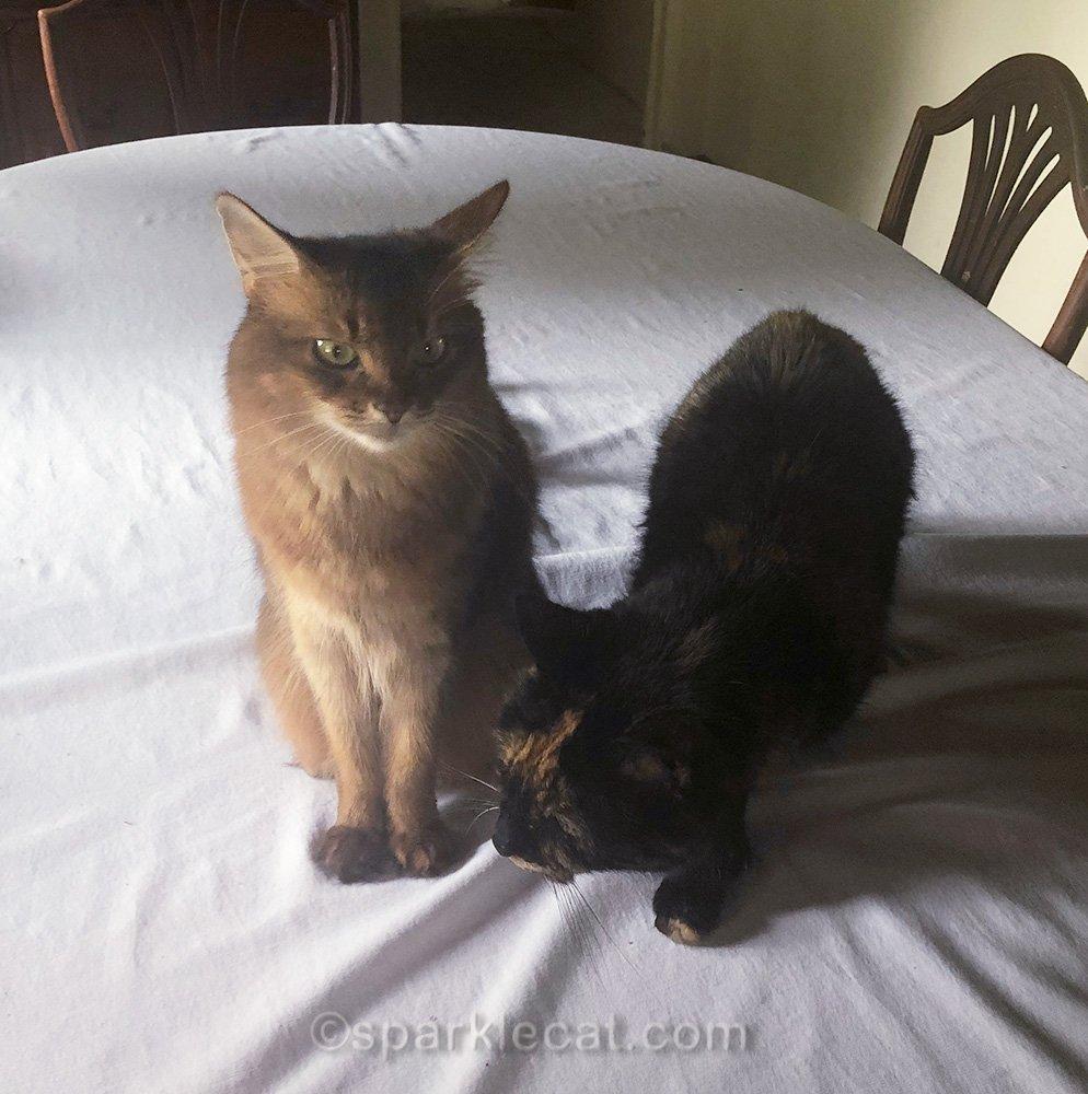 somali cat bothered by tortoiseshell cat