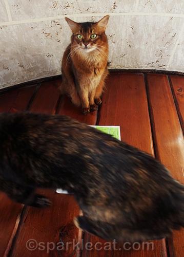 somali cat being photo bombed by tortoiseshell cat