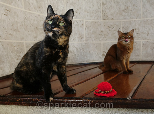 tortoiseshell cat with red hat looking for treats