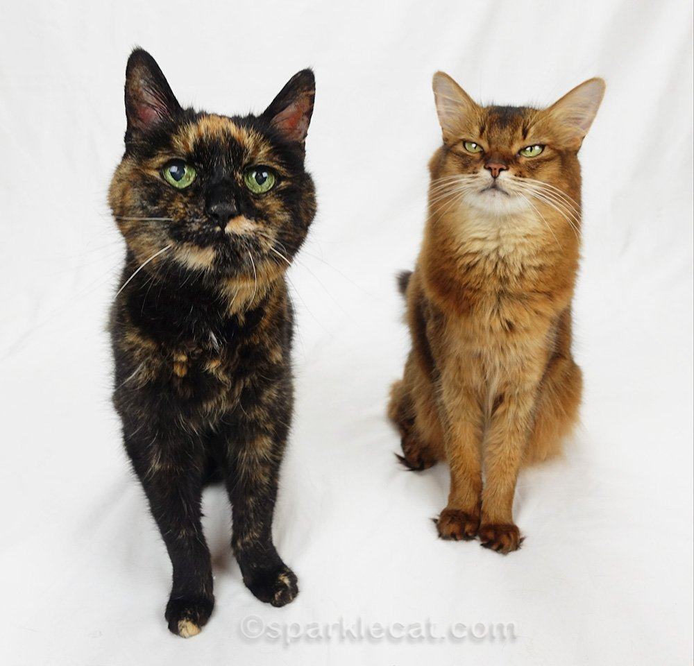 somali cat and tortoiseshell cat