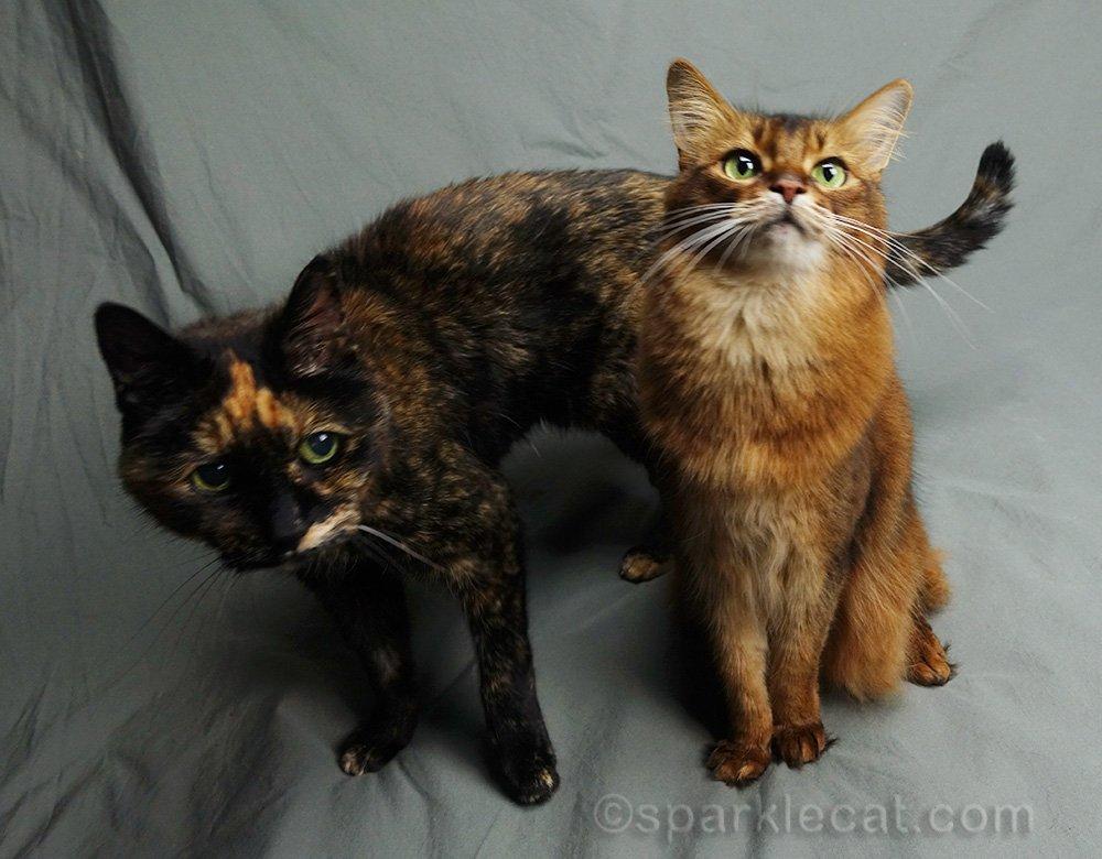 tortoiseshell cat photobombing somali cat