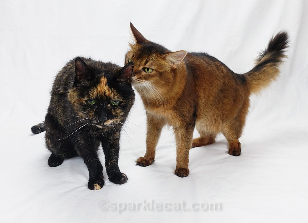 last photo session with tortoiseshell cat and somali cat