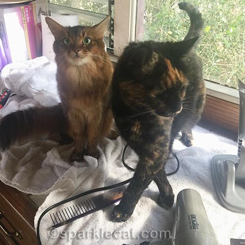 somali cat and tortoiseshell cat on towel