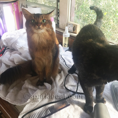 somali cat annoyed at tortoiseshell cat and wondering what is she doing here