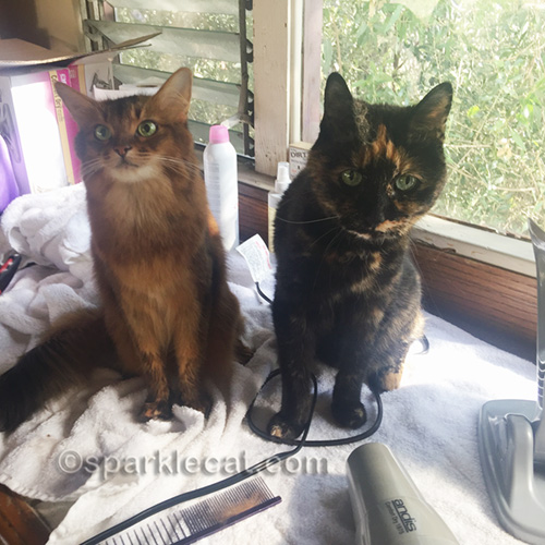 Freshly bathed somali cat and tortoiseshell cat posing for photos
