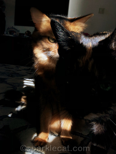 somali cat taking selfie being photo bombed by tortoiseshell cat
