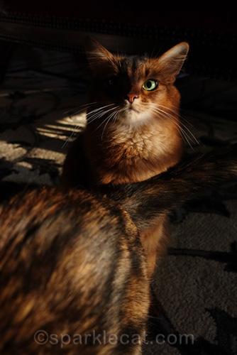 tortoiseshell cat photo bombing somali cat