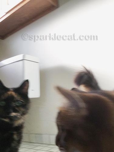 somali cat looking behind her at tortoiseshell cat