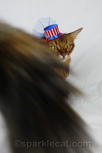 somali cat with tiny fourth of july hat is photobombed by tortoiseshell cat tail