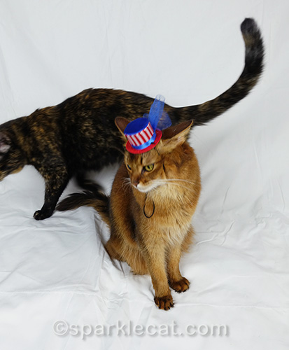 somali cat trying to pose for Fourth of July but is being disturbed by tortoiseshell cat