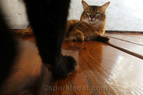 somali cat looking up at tortoiseshell cat, with just leg in frame