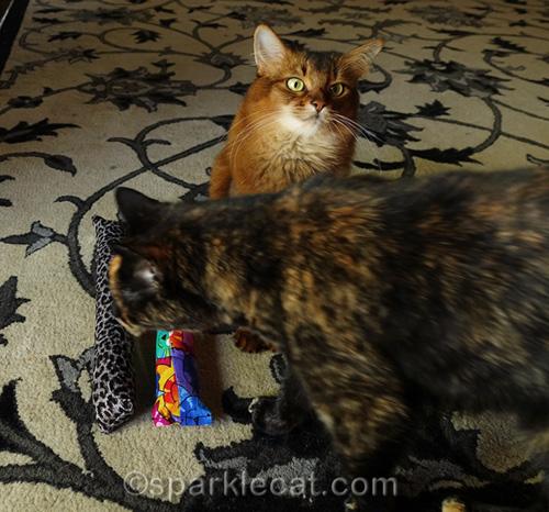 tortoiseshell cat walks through somali cat's photo shoot