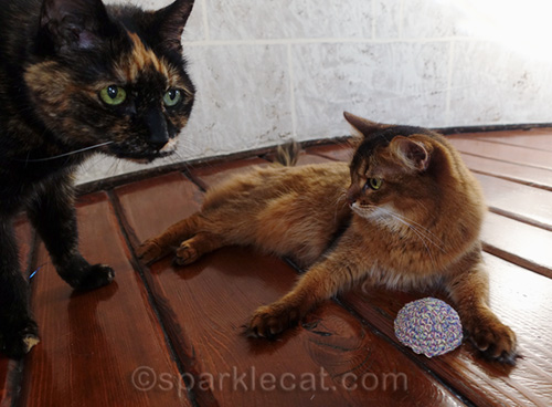 outtakes tortoiseshell cat barges in on somali cat's photo