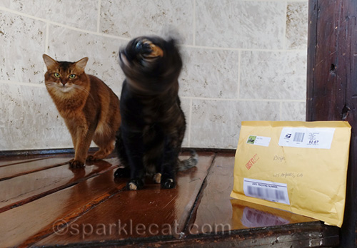 tortoiseshell cat shakes head while somali cat looks on