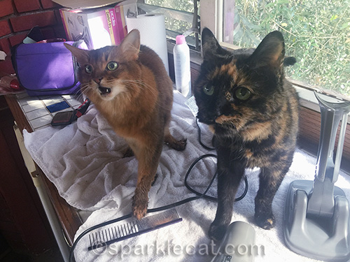 somali cat wonders why tortoiseshell cat is on counter with her