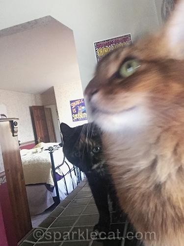 somali cat's bathroom selfies are photobombed by tortoiseshell cat