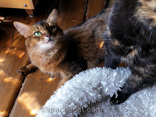 somali cat looking at photo bombing tortoiseshell cat