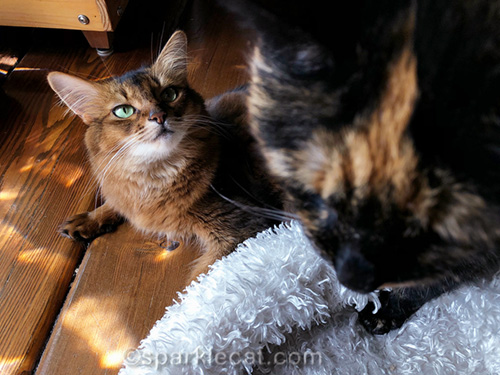 somali cat overshadowed by tortoiseshell cat head