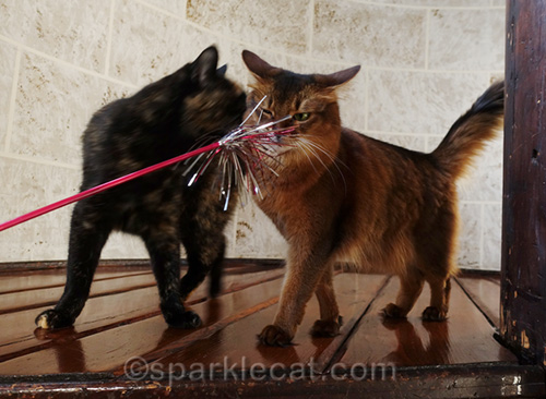 tortoiseshell cat is a fun killer for somali cat