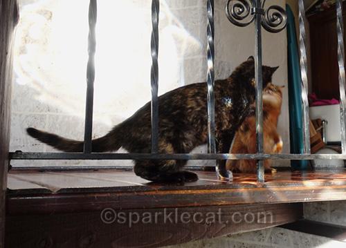 tortoiseshell cat tries to dominate somali cat
