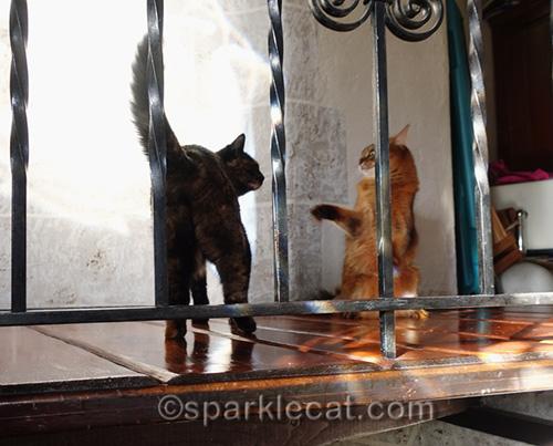 tortoiseshell cat bullies somali cat