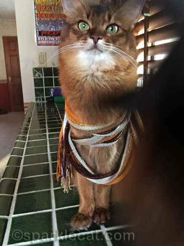 somali cat with scarf being photobombed by tortoiseshell cat