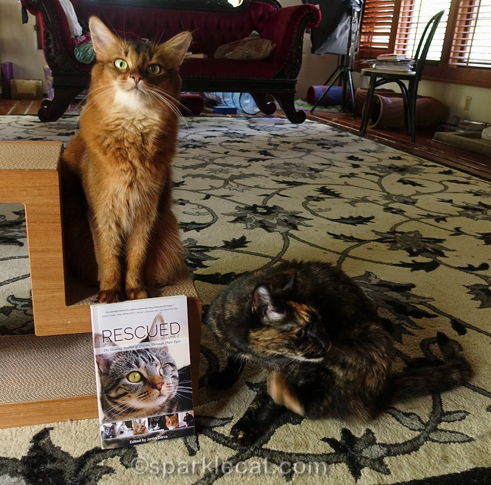somali cat annoyed at tortoiseshell cat not posing properly