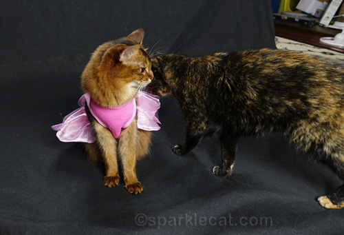 somali cat in princess dress being bothered by tortoiseshell cat