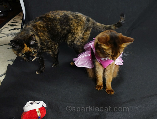 tortoiseshell cat behind somali cat in dress