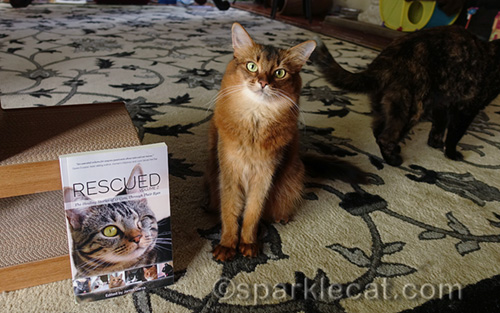 Somali cat with copy of Rescued 2, with tortoiseshell cat walking away