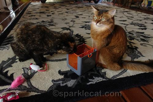 high somali cat and tortoiseshell cat rubbing on marinater