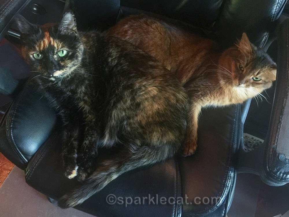 tortoiseshell cat and somali cat commandeering office chair