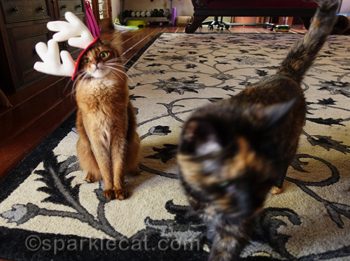 somali cat in reindeer antlers is photobombed by tortoiseshell cat