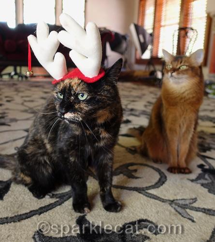 somali cat laughing at tortoiseshell cat wearing reindeer antler headgear