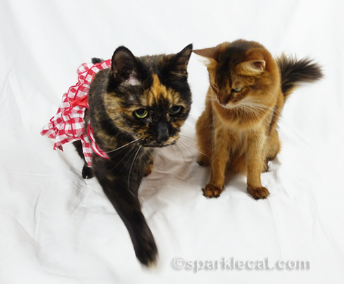 somali cat looking at tortoiseshell cat wearing her dress