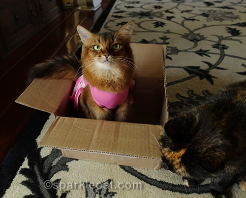 somali cat in box being bugged by tortoiseshell cat
