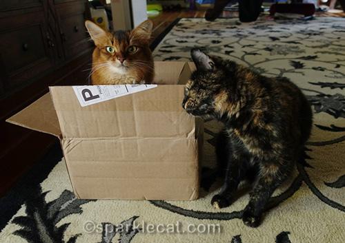 tortoiseshell cat rubbing against box containing somali cat