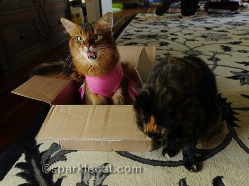 somali cat complaining about tortoiseshell cat rubbing on box
