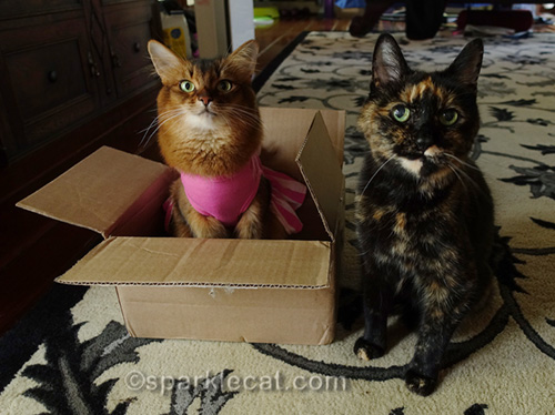 somali cat in box and Binga looking at camera
