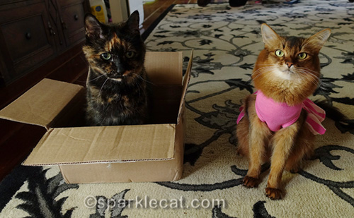 tortoiseshell cat in box with somali cat in dress sitting next to her