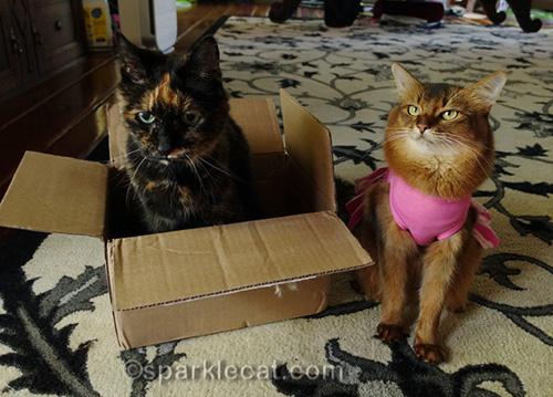 somali cat thinking bad thoughts about tortoiseshell cat