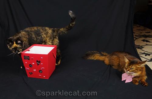 somali cat annoyed that tortoiseshell cat is invading her last photo shoot for her calendar