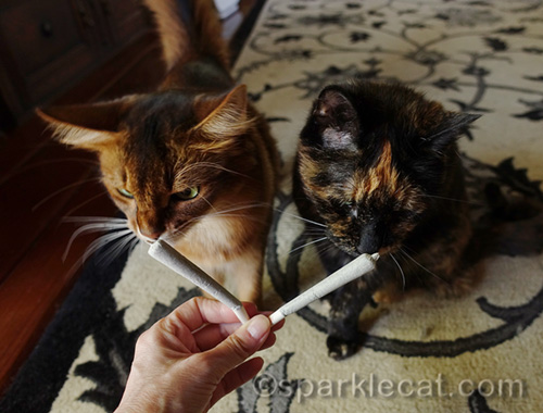 somali cat and tortoiseshell cat checking out the trouble sticks