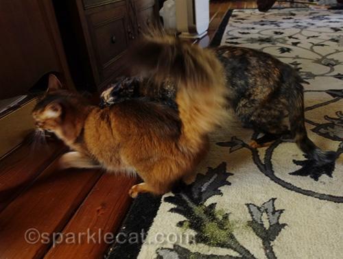 tortoiseshell cat gets mad at stoned somali cat