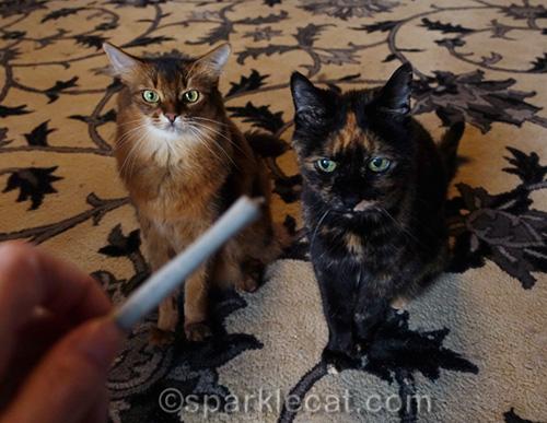 somali cat and tortoiseshell cat impatiently wait to be given Meowijuana stick