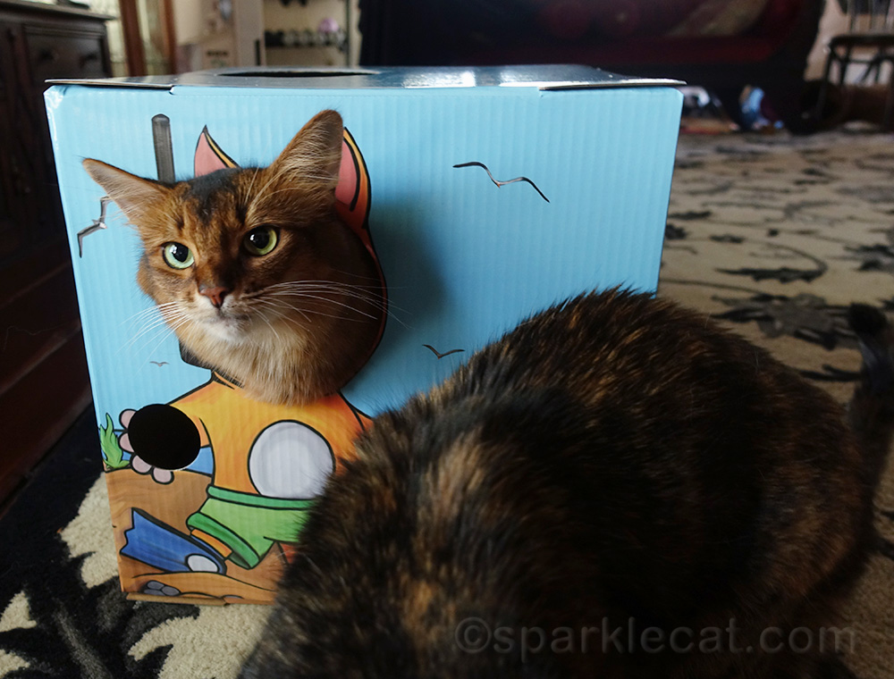 somali cat in Kitty Cardboard box being photo bombed by tortie cat