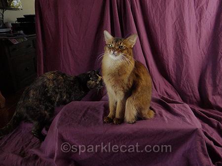 Somali cat, tortoiseshell cat, cat photography, outtakes